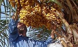 آبنما نیوز : برداشت 150 هزار تن خرما از نخلستانهای هرمزگان