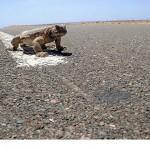 رودان نیوز : تصاویر شکار و خوردن مارمولک در عربستان