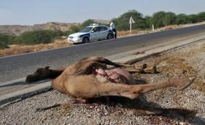 ۲ کشته در برخورد پژو با شتر + عکس