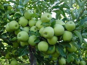 آغاز برداشت سیب درختی در بشاگرد