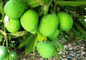 از هر هکتار باغ انبه بطور میانگین ۱۰تن محصول برداشت می شود