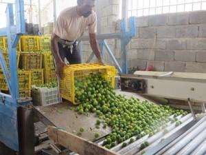 کارگاه بسته بندی لیموترش در شهرستان رودان
