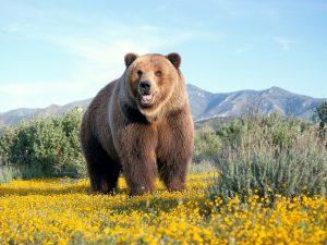 خبر کشته شدن خرس قهوه ای در منطقه ی رهدار رودان تکذیب شد/عدم وجود زیستگاه خرس قهوه ای در رودان