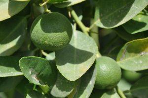 رودان رتبه اول در تولید لیموترش /لیموی برداشت شده راهی بازارهای داخلی می شود +تصویر