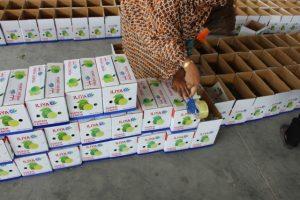 برداشت و بسته بندی لیموترش درشهرستان رودان