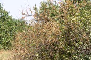 درختان و محصولات کشاورزی، اولین قربانیان گرمای بالای ۵۰ درجه در رودان +تصویر