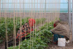 ترویج کاشت گلخانه ای در رودان یکی از راه های رسیدن به اهداف اقتصاد مقاومتی / رودان رتبه اول کاشت گلخانه ای در هرمزگان