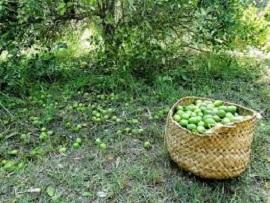 لیموترش قاچاق، بلای جان باغداران رودانی/۴۵ درصد لیموترش کشور در رودان هرمزگان تولید می شود
