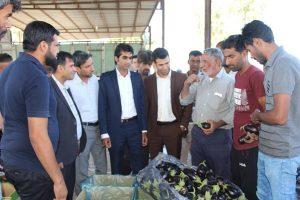 من کشاورزم و درد کشاورزان را با تمام وجود لمس می کنم/ قیمت بادمجان رودان روبه افزایش است