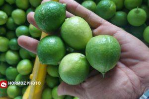 آغاز برداشت نوبرانه طلای سبز در رودان/ سهم ۴۶ درصدی لیموی بهشت جنوب در کشور