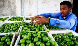 جنوبی ترین نقطه کشور فاقد صنایع تبدیلی لیمو است/چوب حراج به باکیفیت ترین لیموی کشور در فصل برداشت