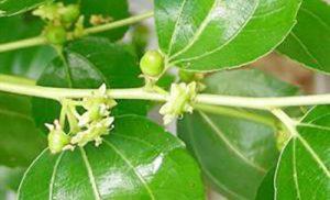 گل دهی درختان کُنار در 250هزار هکتار از مراتع رودان آغاز شد