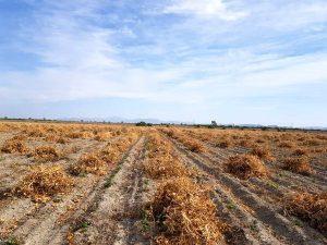برداشت لوبیا در مزارع بخش رودخانه شهرستان رودان پایان یافت