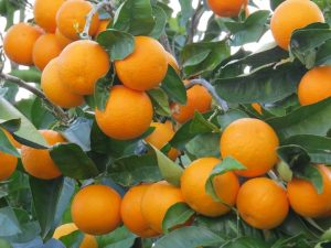 پیش بینی برداشت بیش از 90هزار تن پرتقال در رودان