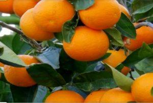 بیش از 45هزار تن پرتقال در رودان برداشت شد