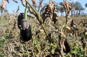 سرما ۱۰۲میلیارد تومان به کشاورزی های رودان خسارت وارد کرده است