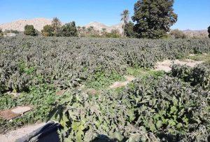 خسارت بیش از۶۸۰ میلیارد ریال به محصولات کشاورزی بر اثر سرما در هرمزگان