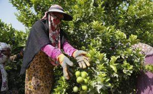 آینده مبهم لیموکاران رودانی| کشاورزان سرگردان شدند
